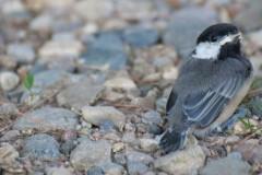 Baby-chickadee-1