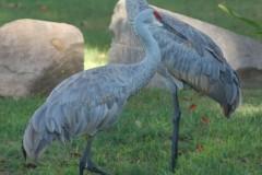 Cranes-crossing-e1439326888968