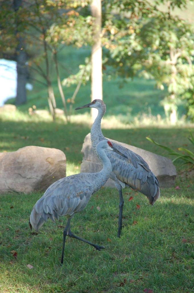 Sandhill cranes are regulars on the pond...